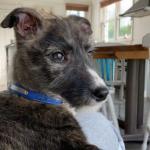 Irish Wolfhound Pups €650 for sale.