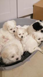 Beautiful Schihon Teddy bear pups for sale.