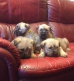 Wheaten Terrier Pups [sold].
