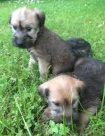 Wheaten Terrier Puppies for sale.
