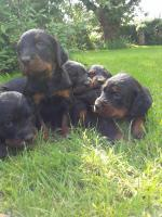 Gordon Setter Pups [sold].