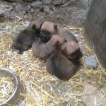 Wheaten Terrier pups for sale.