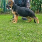 German shepherd female puppy for sale.