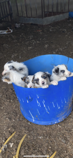 Blue Merle collie for sale.