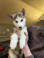 Siberian Husky puppies for sale.