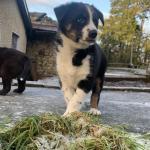 Puppies Husky/Akita cross Border collie for sale.