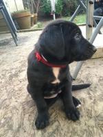 Labrador cross for sale.