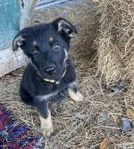 Working Line GSD puppies for sale.