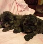 Shihpoo for sale.