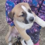 Akita x Mastiff for sale.
