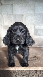 Working Cocker Spaniel for sale.