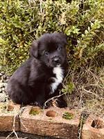 Labrador/collie for sale.