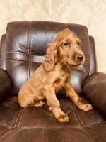 Irish red setter show dog pup for sale for sale.