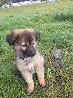 Belgian Shepard cross Collie pups [sold].