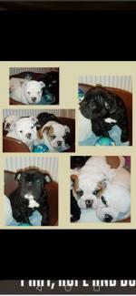 British Bulldog for sale.