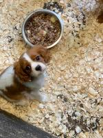 King Charles for sale.