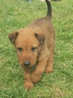 Irish terrier for sale.
