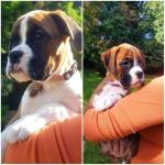 IKC Boxer Puppies in Waterford for sale.