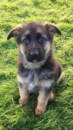 Full bred German shepherd for sale.