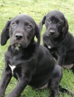 Labrador X Beagle for sale.