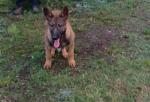 German Shepherd Female Pup for sale.