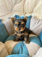IKC Yorkshire Terrier Puppies for sale.