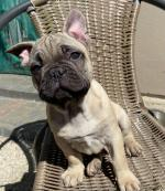 French Bulldog for sale.