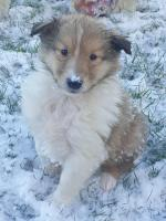 Rough Collie for sale.