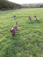 Collie x Kelpie pups for sale.