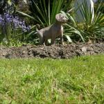 Weimaraner Pups Now Available for sale.