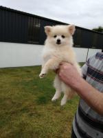 Pomeranian pup for sale.