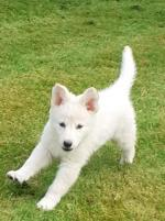White german shepherd for sale.