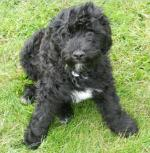 Monty - Portuguese Water Dog [sold].