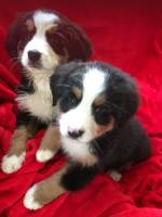 Bernese mountain pups for sale.