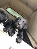 Lab cross sheepdog for sale.