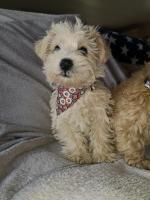 Westiepoo (miniature poodle x westie) for sale.