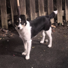 7 month old Collie