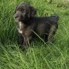 Labrador X Sheepdog (Call 0892559218)