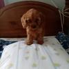 Cockapoo puppies in Cork