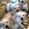IKC Labrador puppies in Wexford