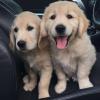 Stunning golden retriever pups