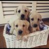 Top class Labradors