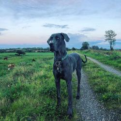 Great Dane for stud.