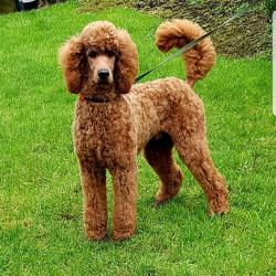 Poodle for stud.