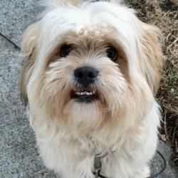 Lhasa Apso for stud.
