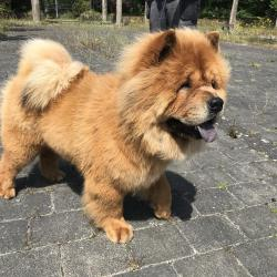 Chow Chow for stud.