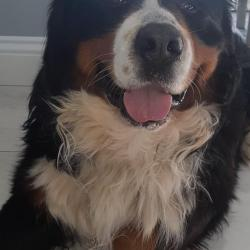 Bernese Mountain for stud.