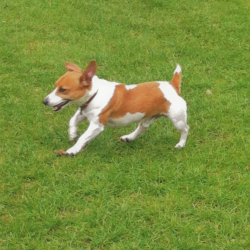 Jack Russell for stud.