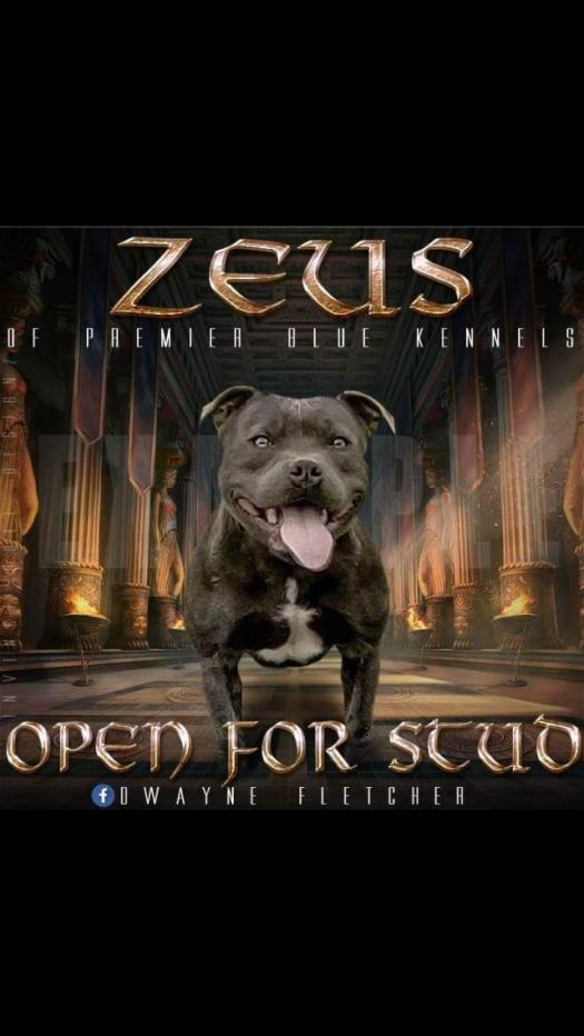 Zeus Staffordshire Bull Terrier In Tipperary For Stud With