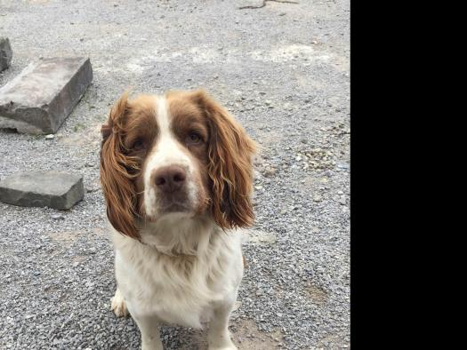 Springer (Springer Spaniel) in Cork for stud with dogs ie